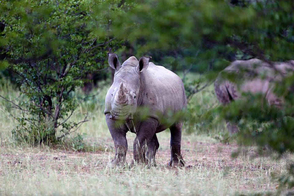 Nashorn im Privatreservat südlich von Etoscha, Namibia