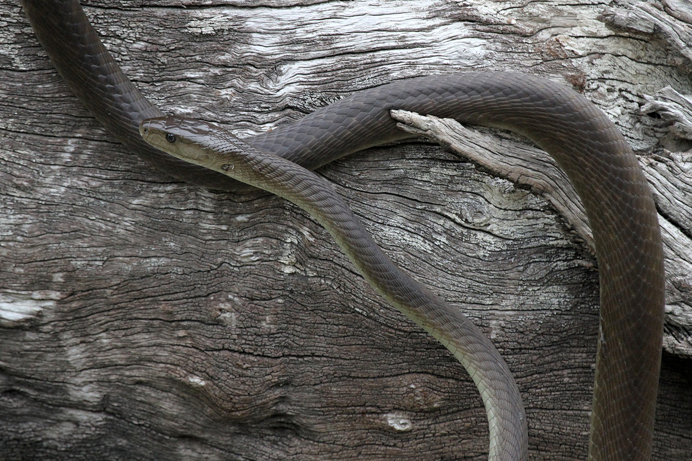 Schlange in Botswana