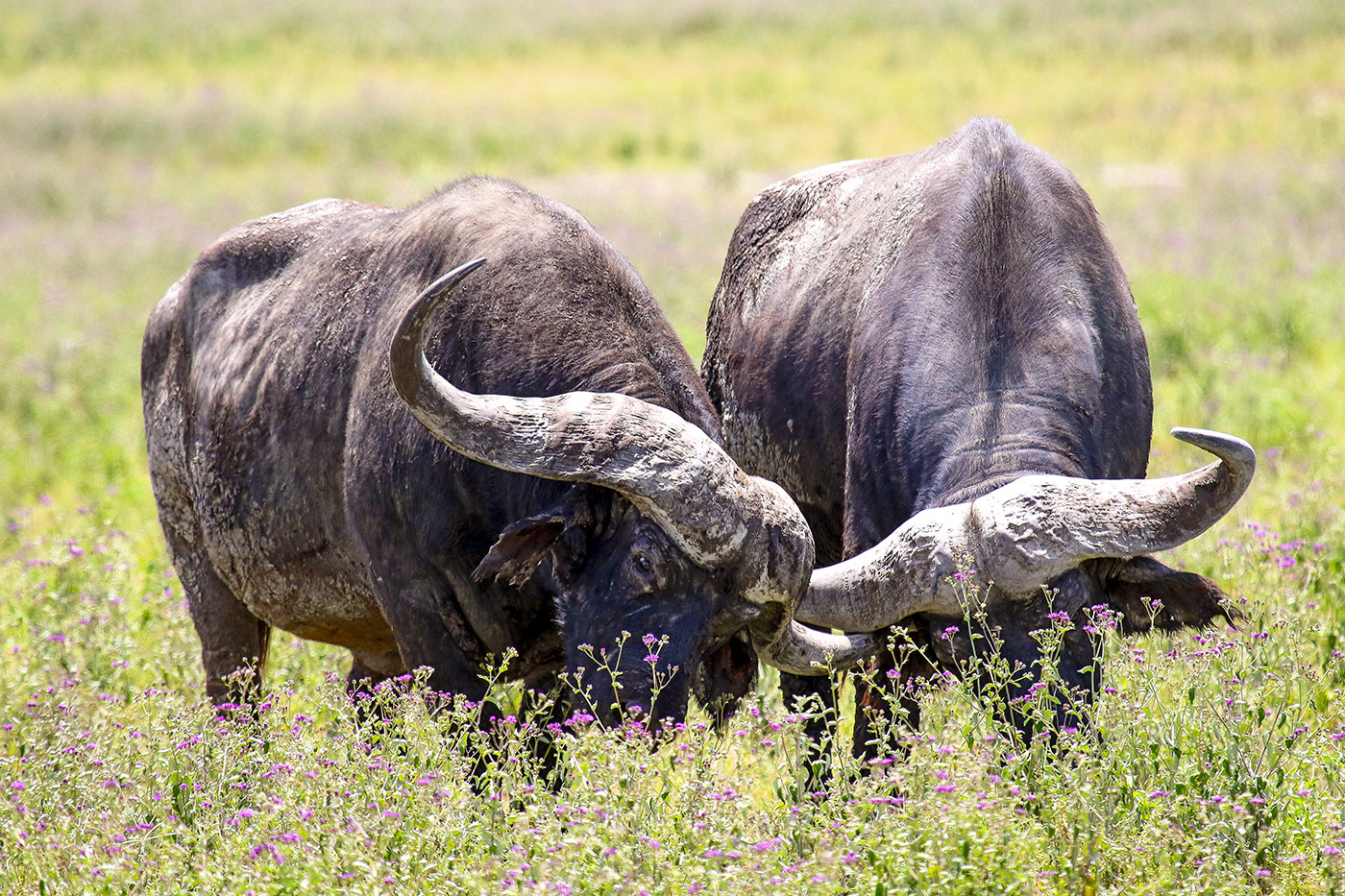 Büffel – mächtige Tiere