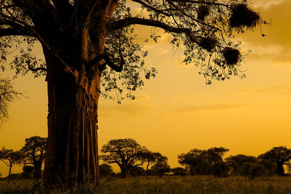 Baobabs im Abendlicht, Tansania