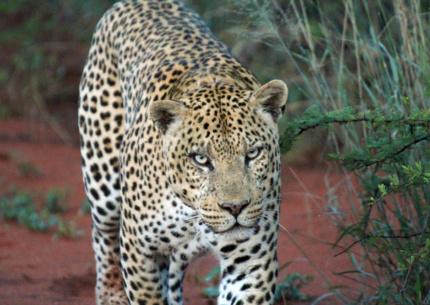 Leopard Okonjima Reservat