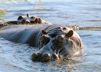 Flusspferd in der Sambesi-Region