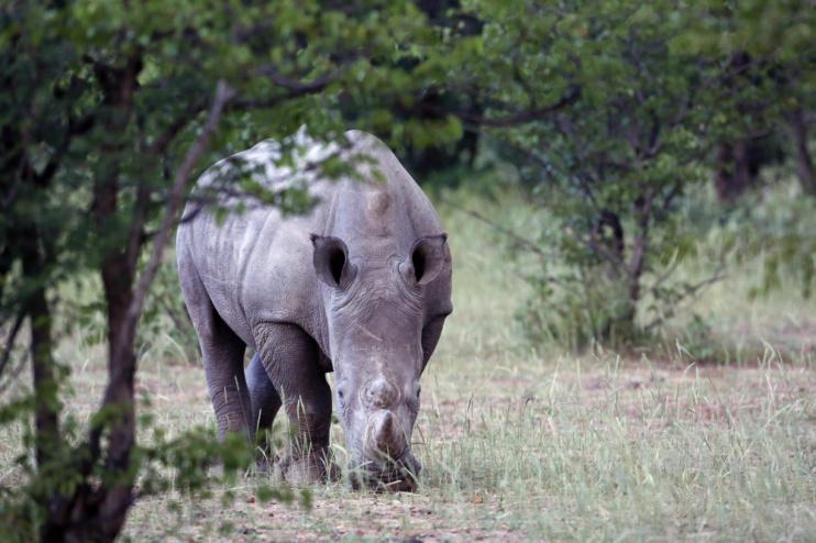 Nashorn nahe der Ongava Lodge