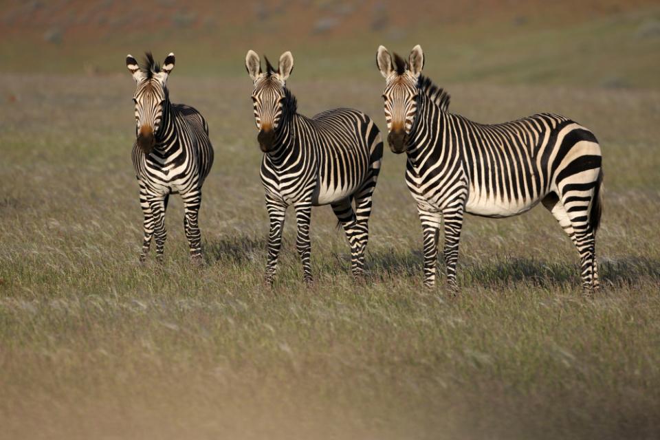 Zebras im Damaraland