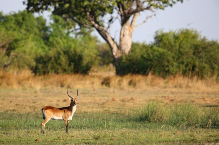 Antilope in Botswana