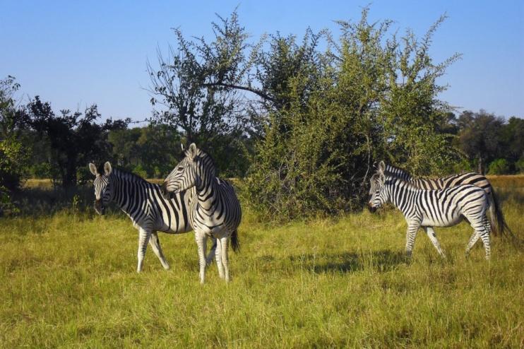 Zebras im Okavango-Delta in der Khwai Community Area