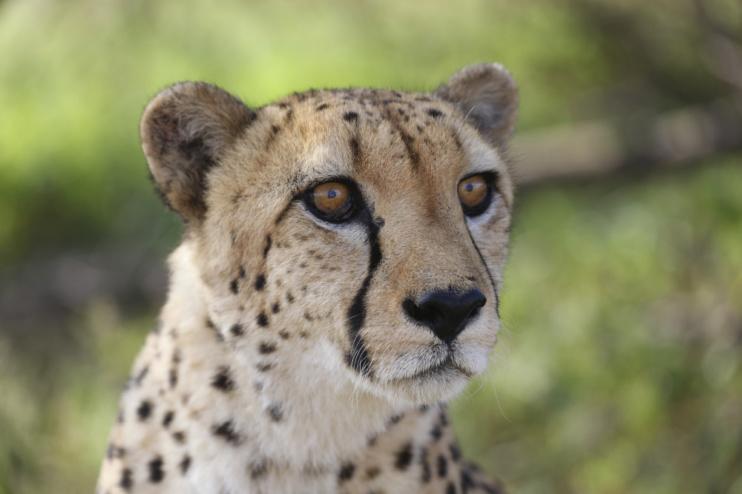Gepardenporträt