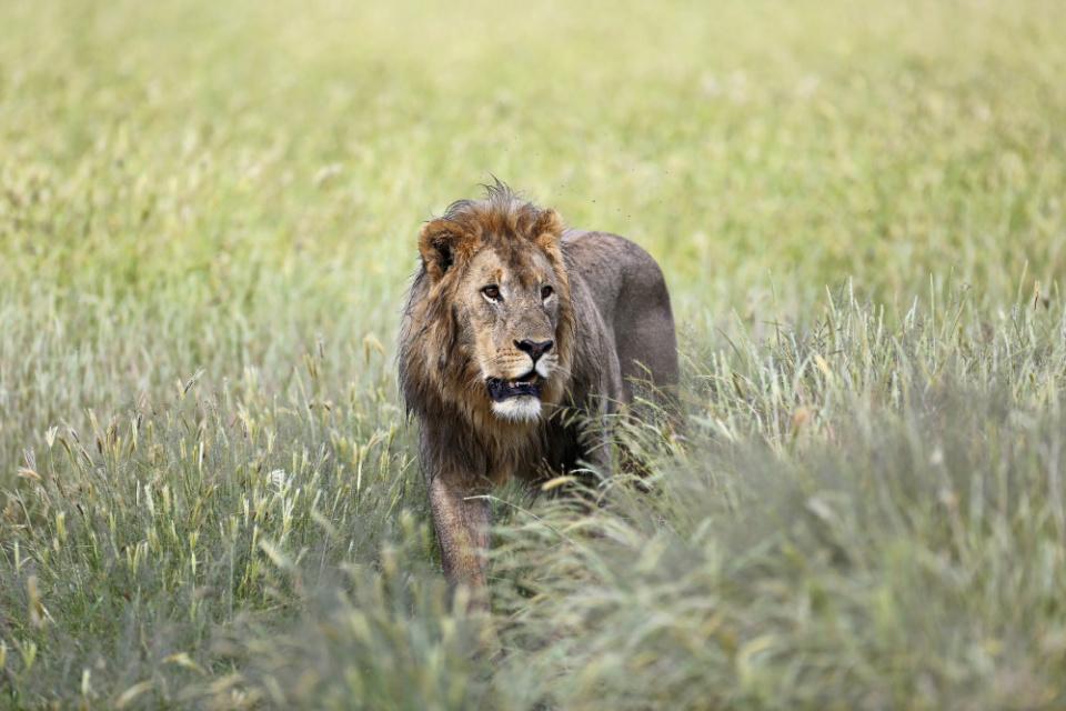 Löwe im Regen nahe Etosha Nationalpark