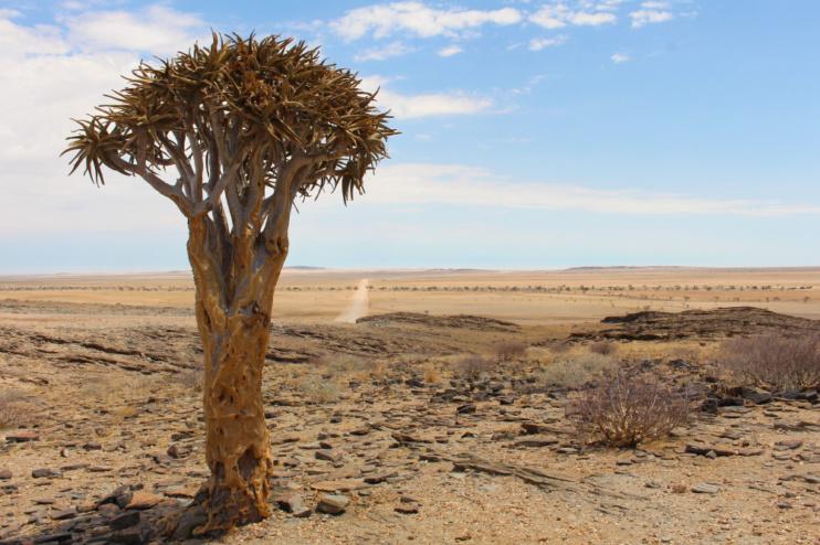 Köcherbaum Namib Naukluft Park