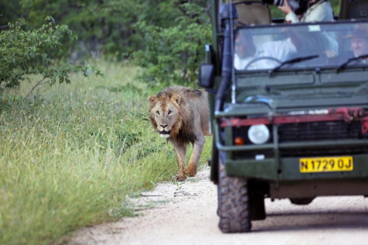Hautnahe Erlebnisse auf Pirsch mit Löwen. (Ongava Lodge)
