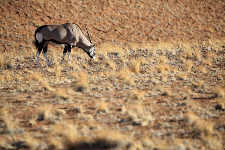 Grasende Oryxantilope