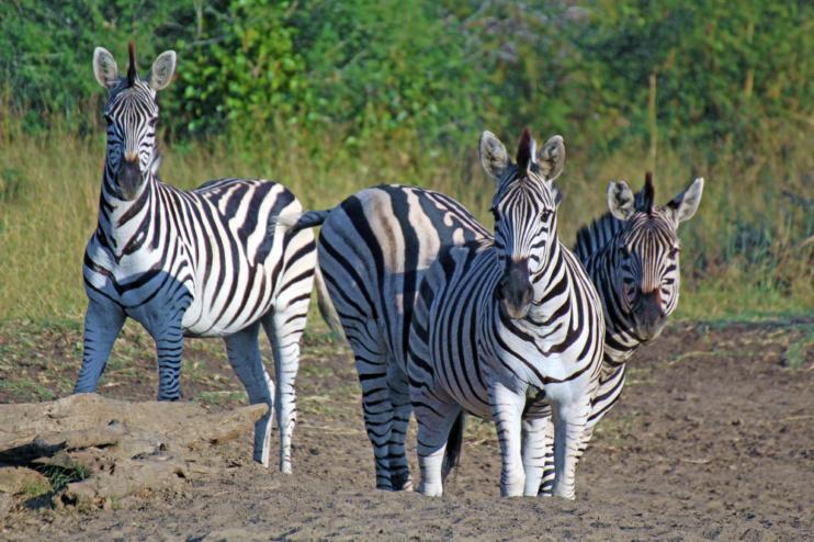 Zebras in der Sambesi-Region