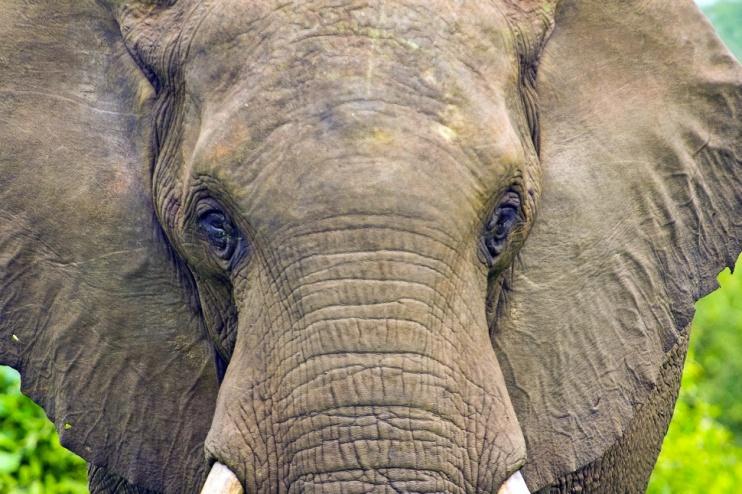 Auge um Auge mit Elefant