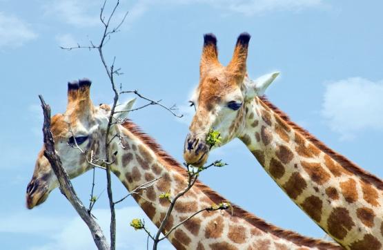 Giraffen nahe der Ngoma Safari Lodge