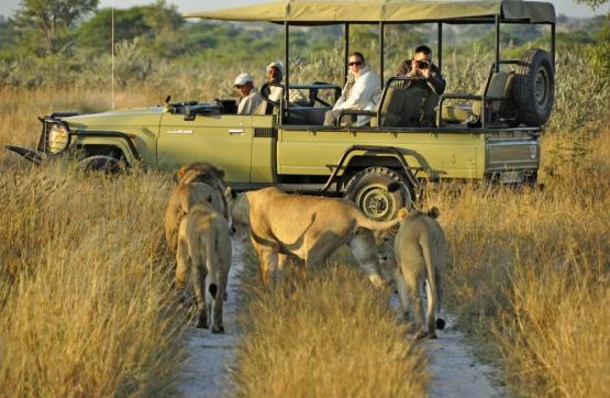 Löwe und Safarifahrzeug in den Nxai Pan