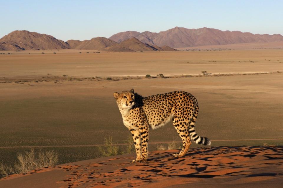 Gepard in der Wüste Namibias