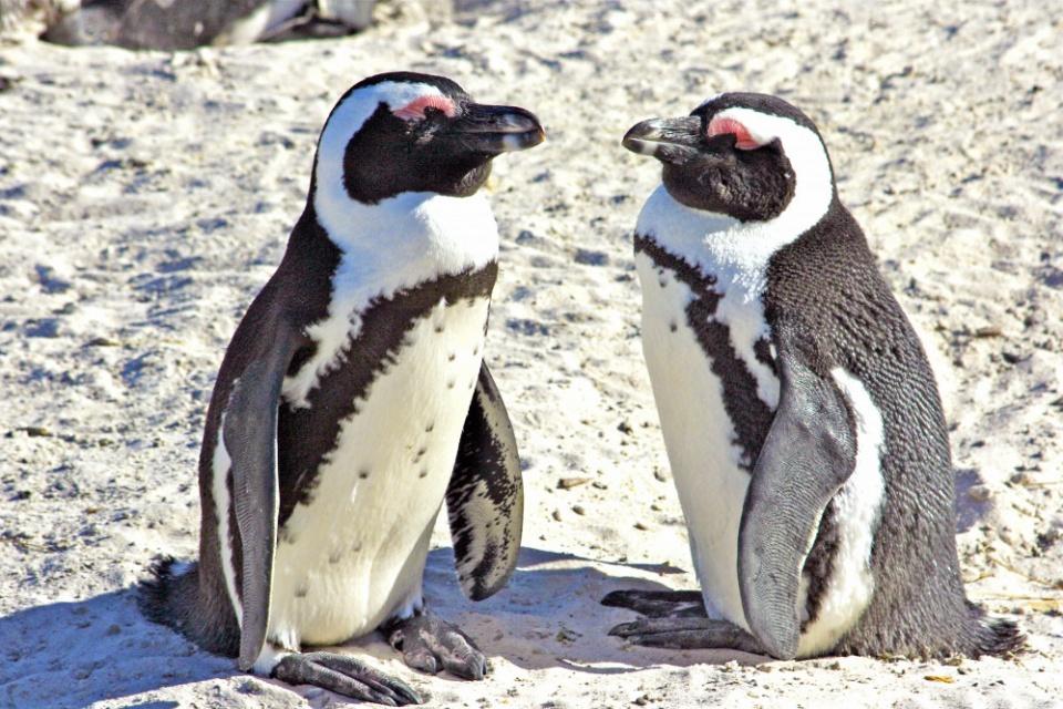 Pinguin Boulders Beach
