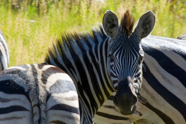 Kololo Game Reserve Zebra