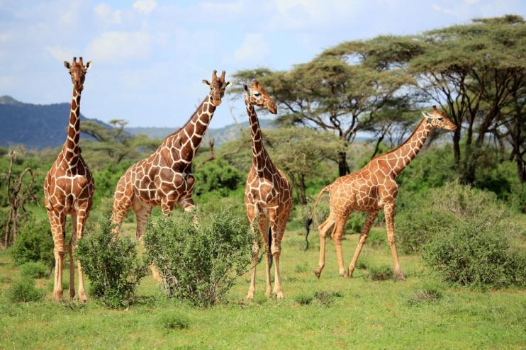 Netzgiraffe im Samburu-Reservat