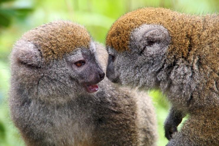 Lemur Makis Madagaskar