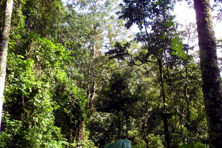 im Wald des Nyungwe Forest NP