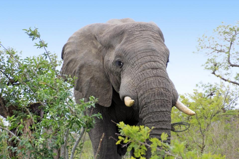 Elefant im Hluhluwe Game Reserve