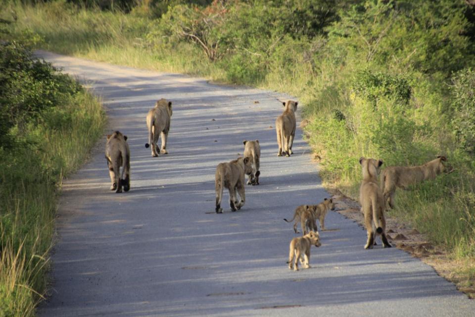 Löwenrudel im Hluhluwe Game Reserve