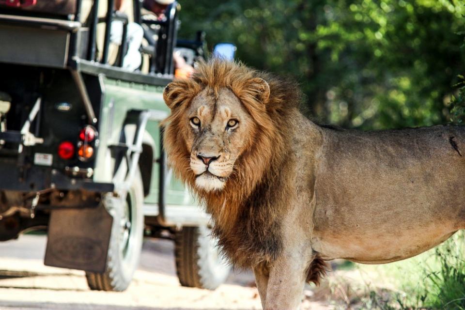 Pirschfahrt auf den Spuren des Löwen