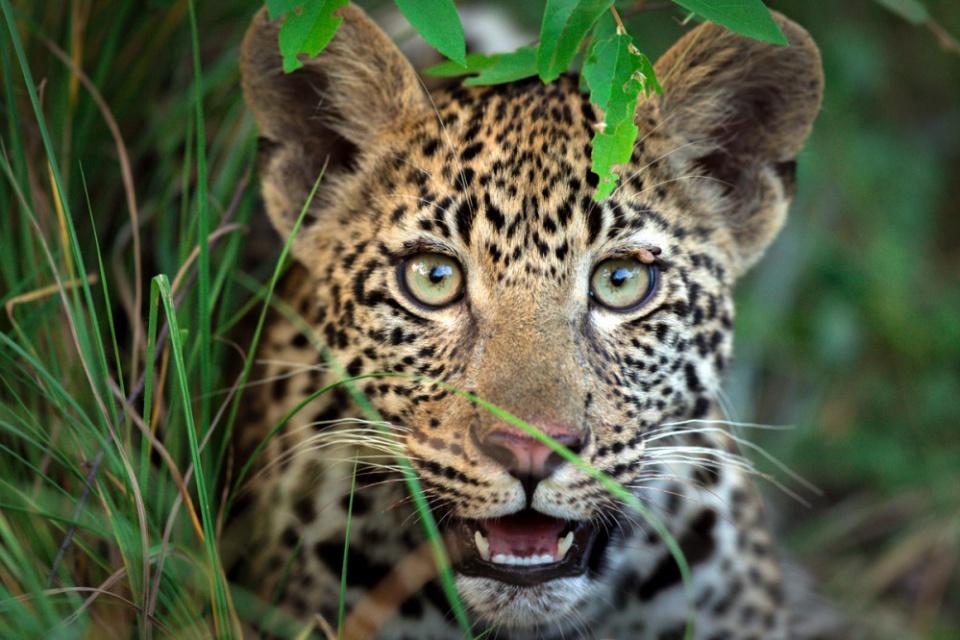 Leoparden Welpe