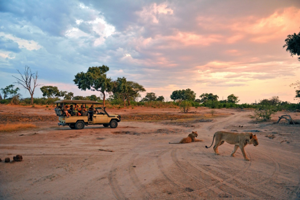 Begegnung mit Löwen auf einer Safari