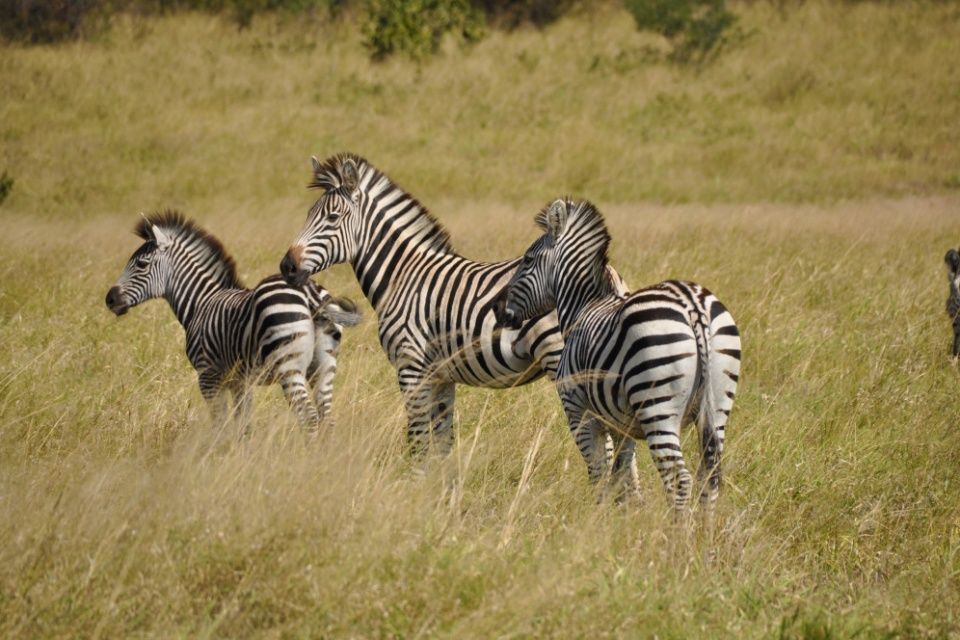 Zebras im Hwange Nationalpark