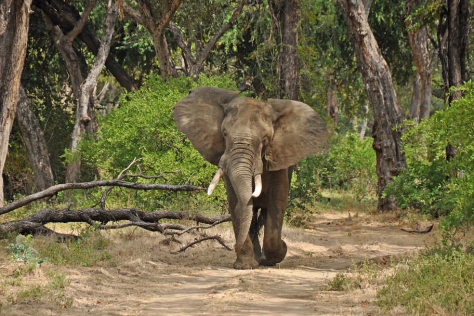 Elefant im Mana Pools Nationalpark