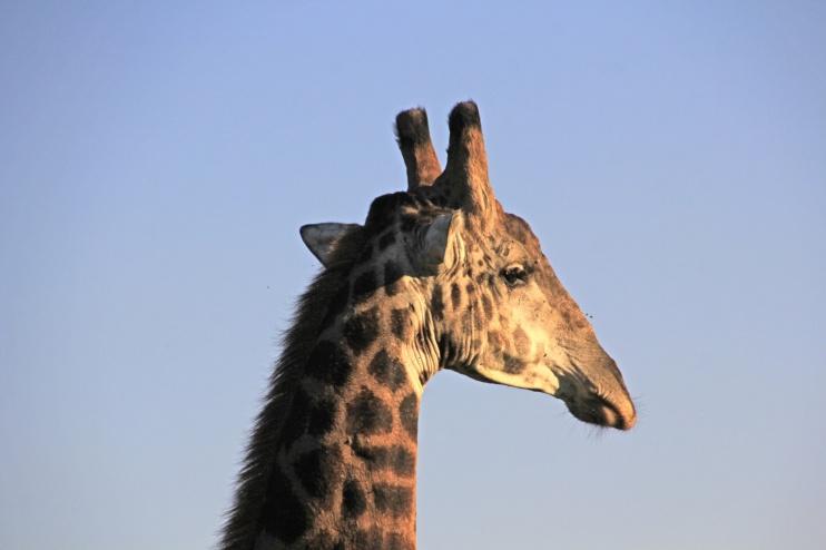 Giraffe im Hluhluwe Game Reserve