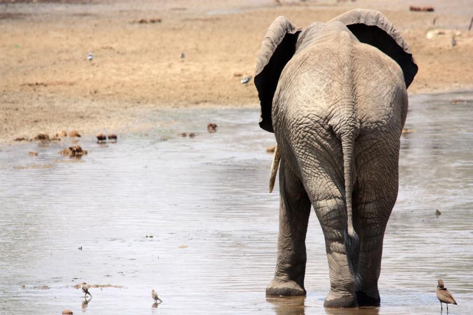 Elefant von hinten