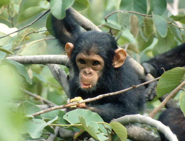junger Schimpanse im Baum