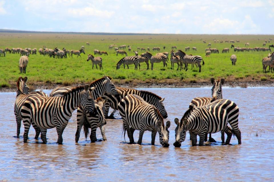 Tansania Zebras