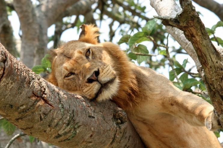 dösender Löwe im Baum, Queen Elizabeth Nationalpark