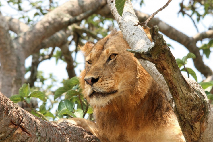 Löwe im Baum, Queen Elizabeth Nationalpark