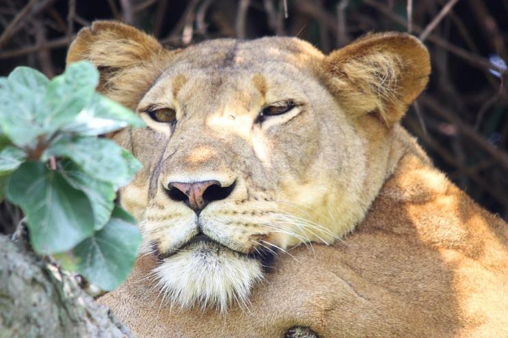 Löwin dösend auf Baum im Queen Elizabeth Nationalpark