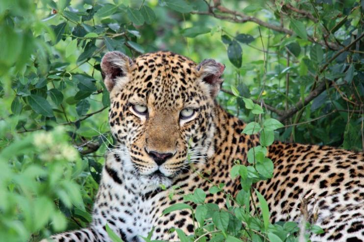 Leopard im Queen Elizabeth Nationalpark