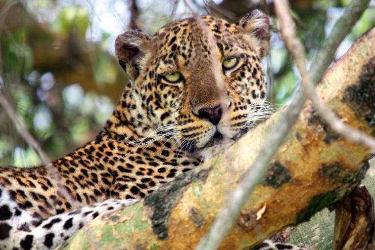 Leopard auf Baum, Queen Elizabeth Nationalpark