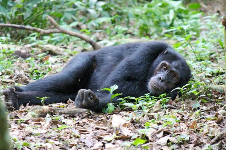 Relaxter Schimpanse im Kibale Nationalpark