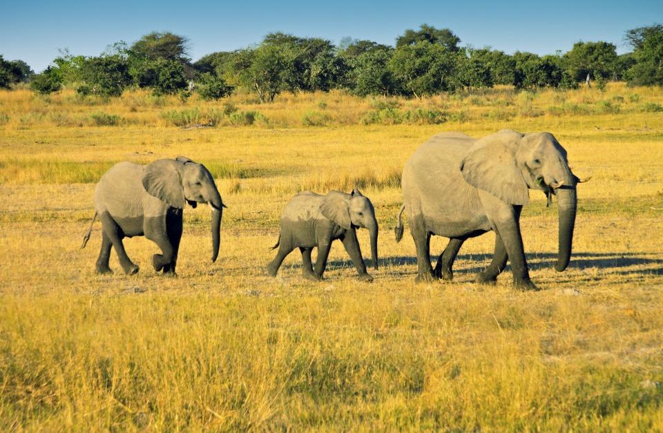 Elefantenfamilie in Botswana