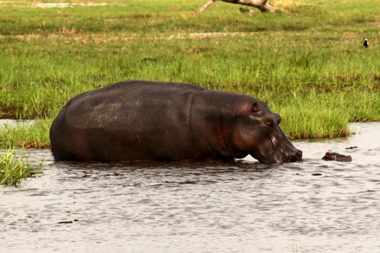Hippo mit Baby in Botswana