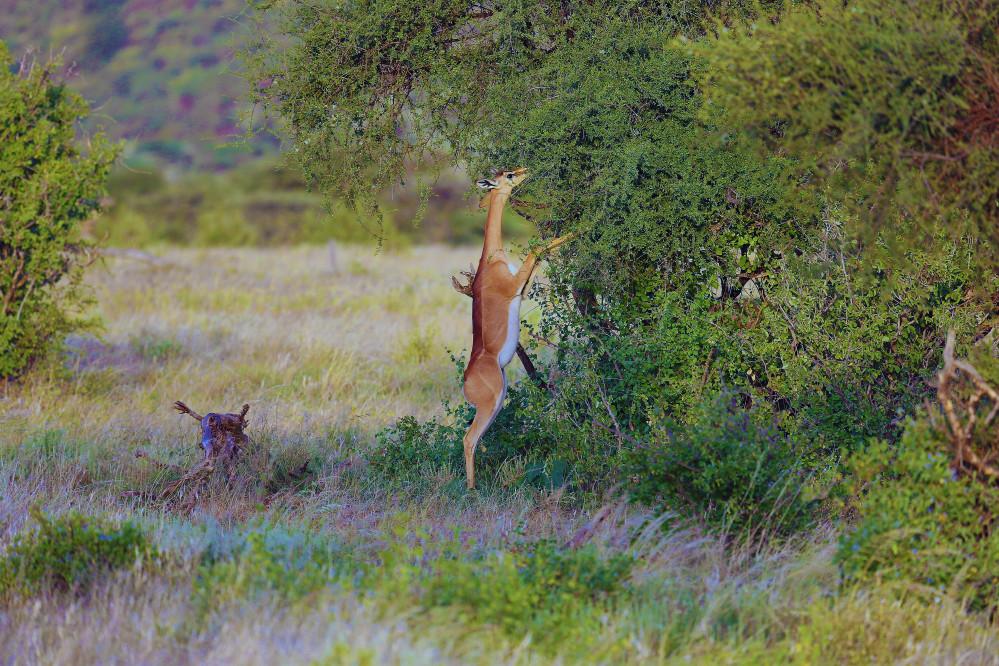 Impala im Samburu Reservat