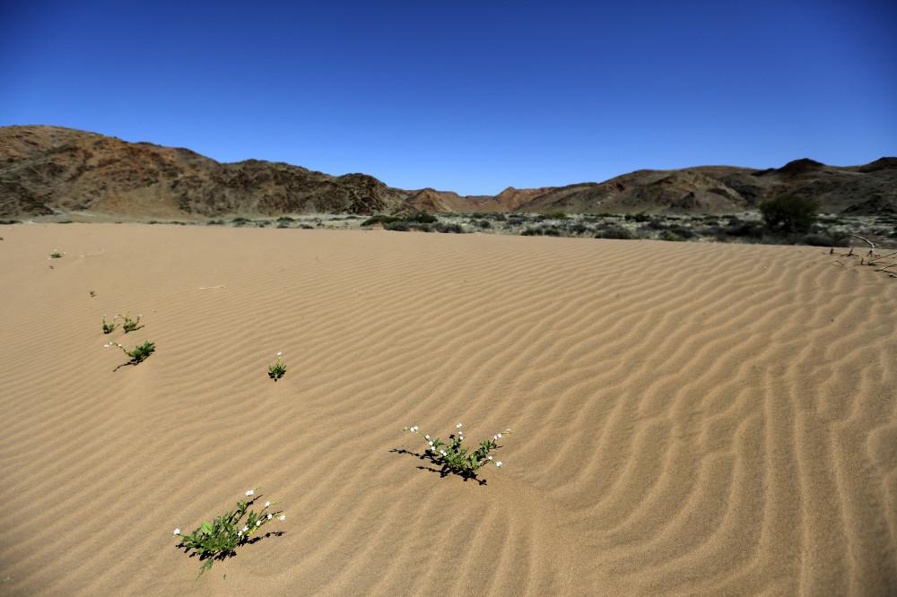 Blüten in der Wüste, Damaraland