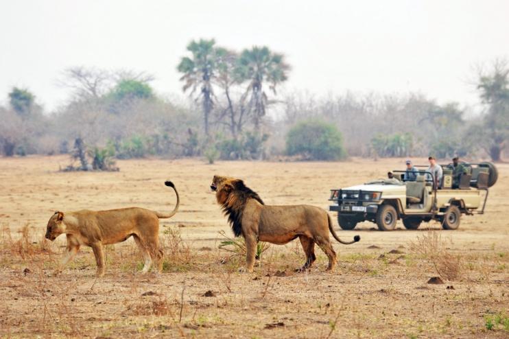 Löwe und Löwin auf einer Safari (Chiawa Camp)