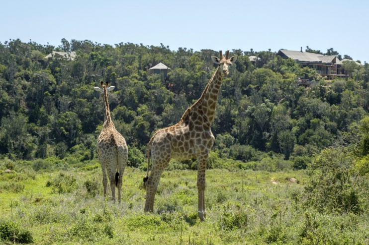2 Giraffen vor der Kariega Settlers Drift Lodge