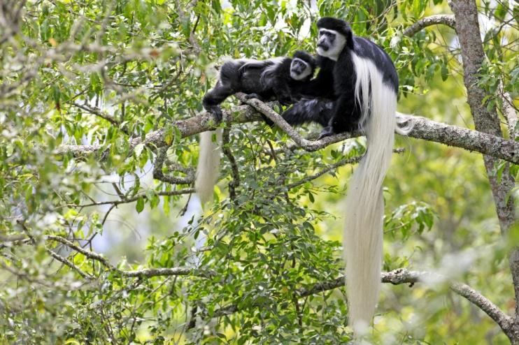 Colobusaffen in Tansania
