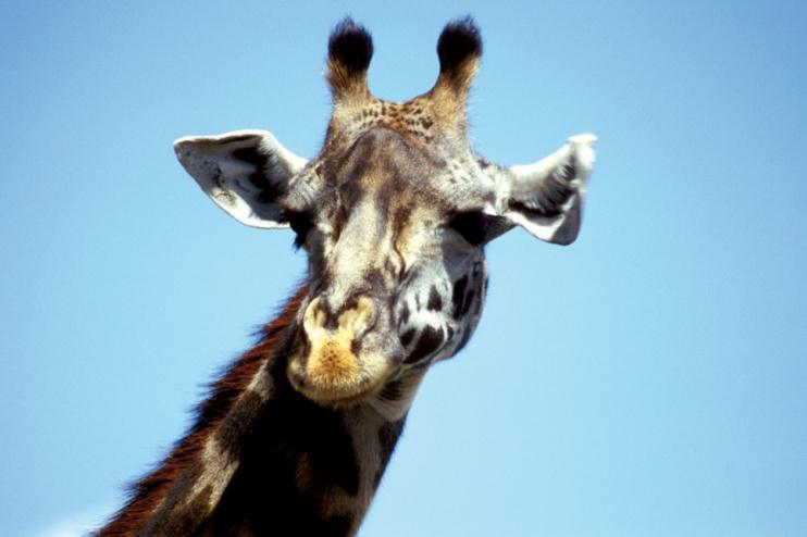 Giraffenkopf
